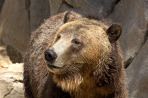 brown-bear-1113tm-pic-1542