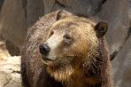 brown-bear-1113tm-pic-1542