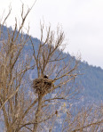 bald-eagle-nest_MyJKUDK_