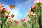 Beautiful Carnation flowers and butterflies in sun ray morning