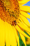 Sunflower close-up with bee sitting on it
