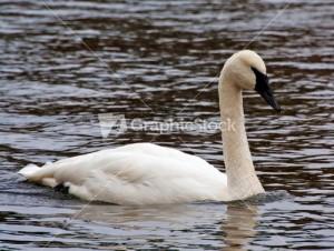 swan-in-pond_fysviwOO_S