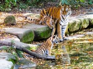 tiger-987684__340