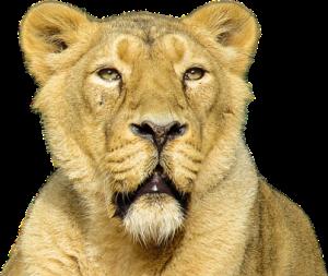 lion-1053013__340