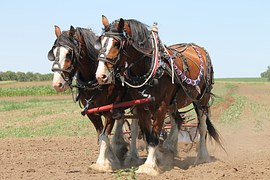 clydesdale-1106337__180