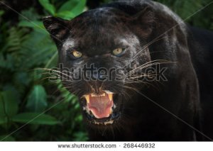 stock-photo--black-panther-268446932