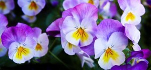 pansy-337140__180