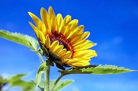 sun-flower-1536088__180