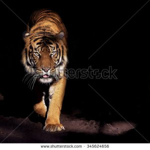 stock-photo-prowling-tiger-345624656