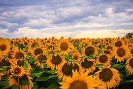 sunflower-1345713__180