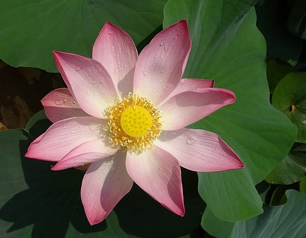 lotus-1790713__340