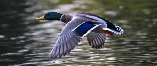 duck-2824378__340