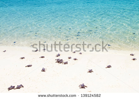 stock-photo-little-baby-turtles-on-their-way-to-the-sea-139124582