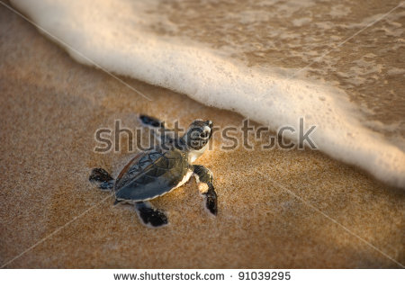 stock-photo-newly-hatched-baby-turtle-toward-the-ocean-91039295