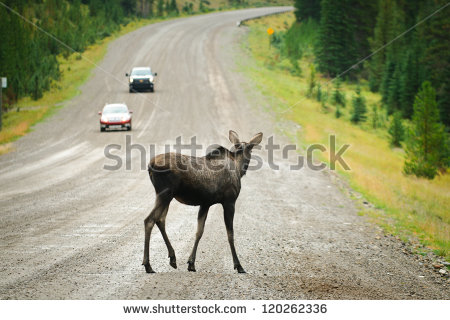 stock-photo-wild-moose-crossing-a-gravel-road-kananaskis-country-alberta-canada-120262336