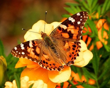 painted-lady-butterfly-55995__340
