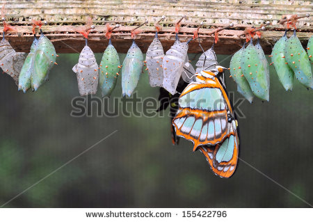 stock-photo-rows-of-butterfly-cocoons-and-newly-hatched-butterfly-155422796