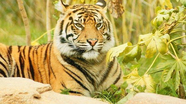 tiger-1690868__340