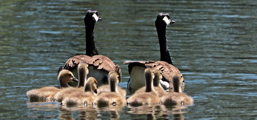 geese-2494952__480