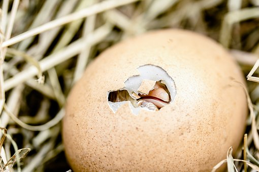 hatching-chicks-2448541__340
