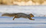 stock-photo-a-fox-squirrel-sciurus-niger-runs-across-the-ice-on-a-morning-of-play-with-his-family-in-loveland-571260352