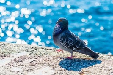 pigeon-517244__340