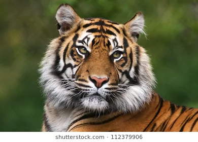 tiger-portrait-bengal-260nw-112379906
