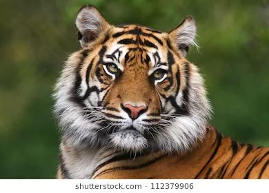 tiger-portrait-bengal-260nw-112379906