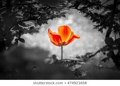 red-tulip-resurrection-black-white-260nw-474921658