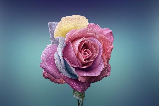 rose-729509__340