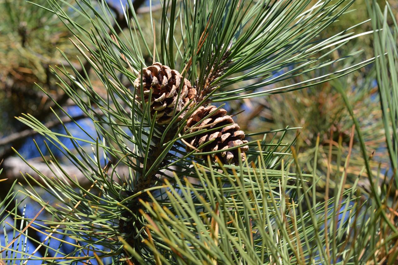 pine-cones-199399_1280