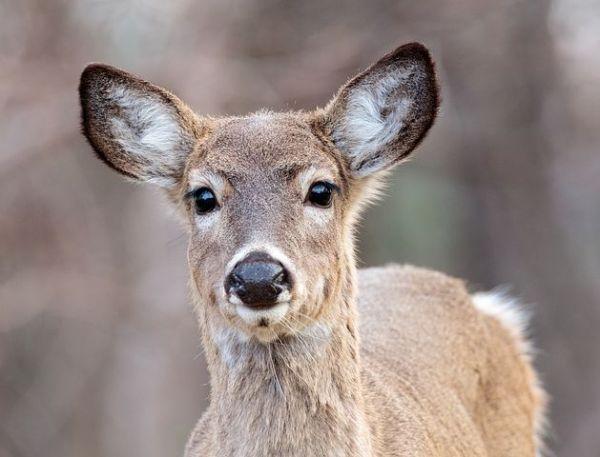 deer-3834379__480