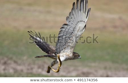 short-toed-snake-eagle-450w-491174356