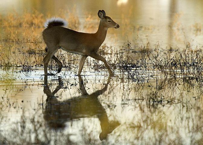 white-tailed-doe-599829__480